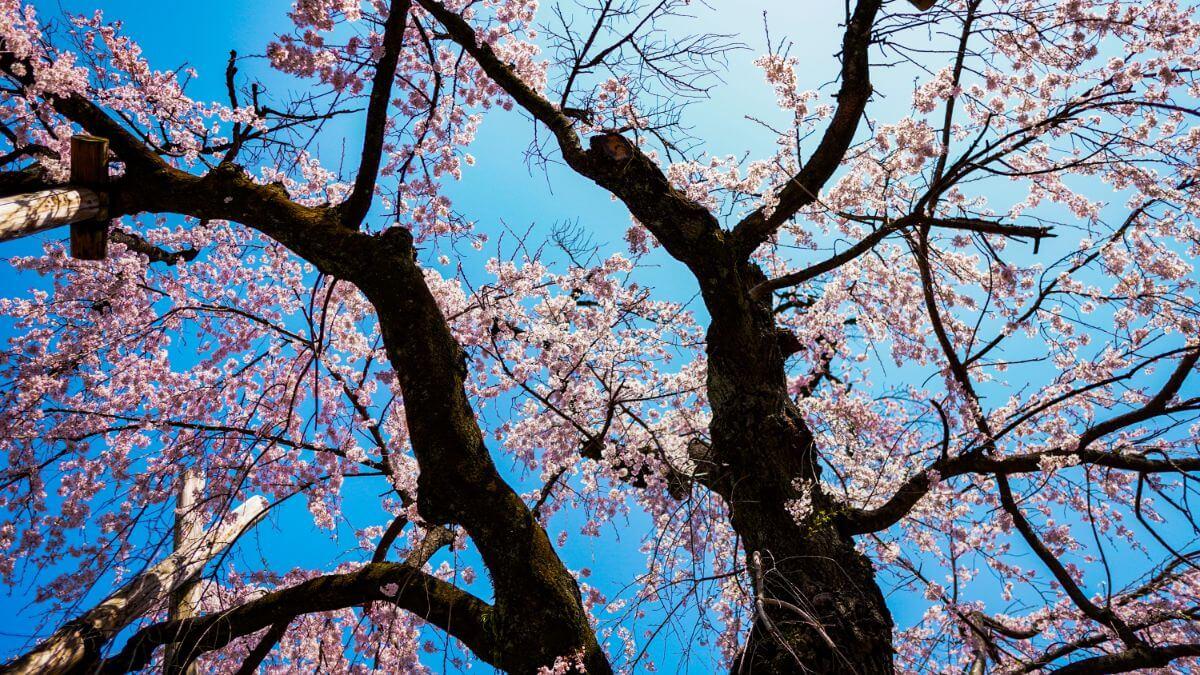 川越で綺麗な桜が見えるおすすめスポットまとめ