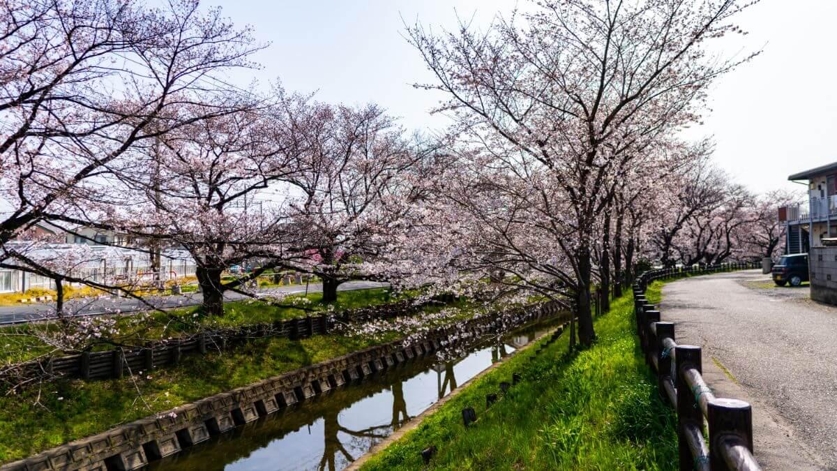 川越には綺麗な桜が見えるお花見スポットがたくさんあります